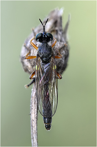 Dioctria hyalipennis