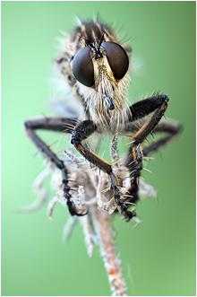 Raubfliegen